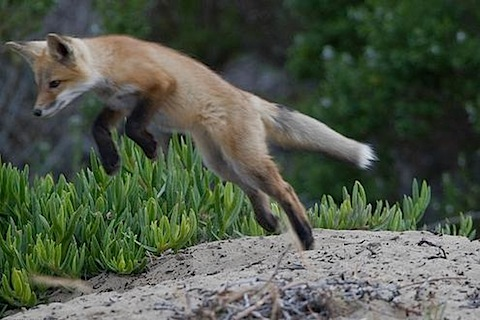 Red Fox Pup mikebaird.jpeg