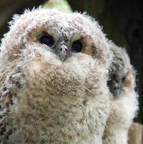 Tawny Owl Chicks keith marshall.jpeg